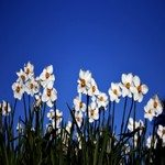 1278807_poets_daffodil_