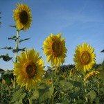 1246031_sunflowers_in_thailand_4