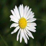 1178371_daisy