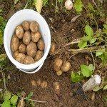 1268332_digging_for_potatoes