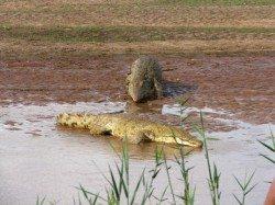kena6_krokodyli_4