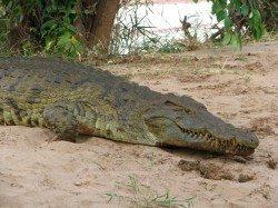 kena6_krokodyli_5