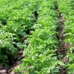1229575_organic_potato_field