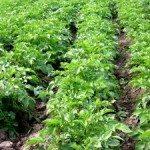 1229575_organic_potato_field